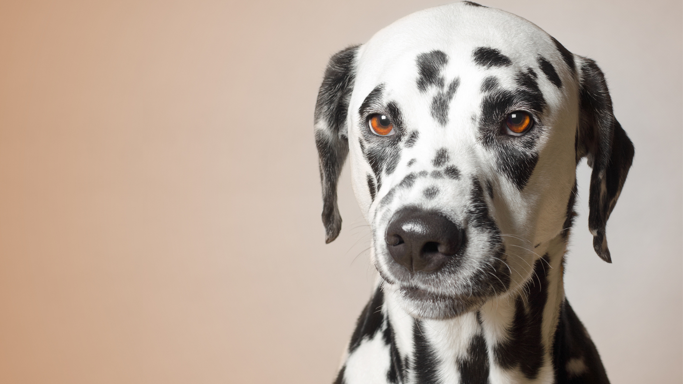photo of an angry Dalmatian